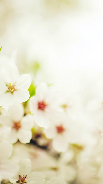 blossom-cherry-spring-sakura-nature-flower-iphone-6-wallpaper-ilikewallpaper_com.jpg